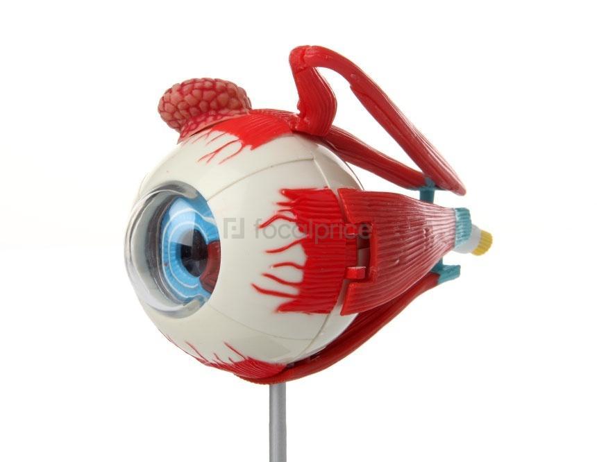 Foto Human Eyeball anatomía Puzzle Toy